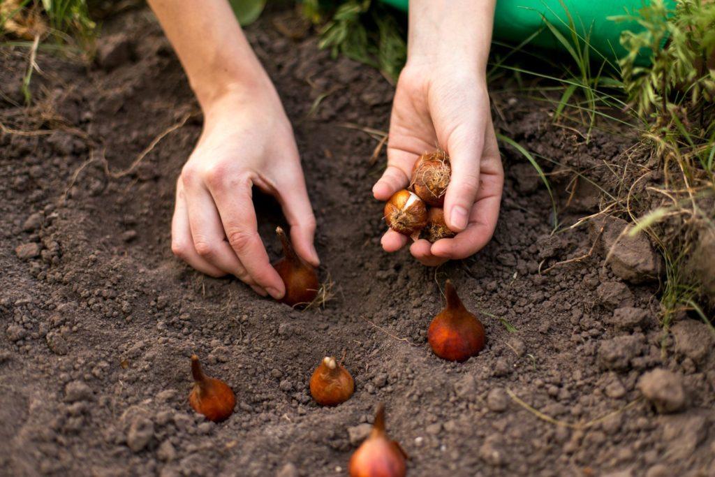 Tulpenzwiebeln werden in die Erde gepflanzt
