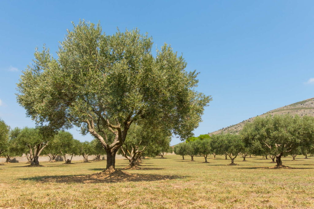 viele Olivenbäume sonniger Standort