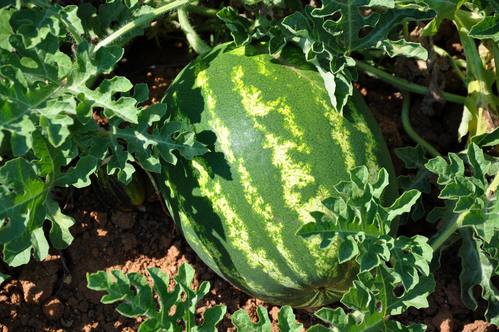Wassermelone an Pflanze
