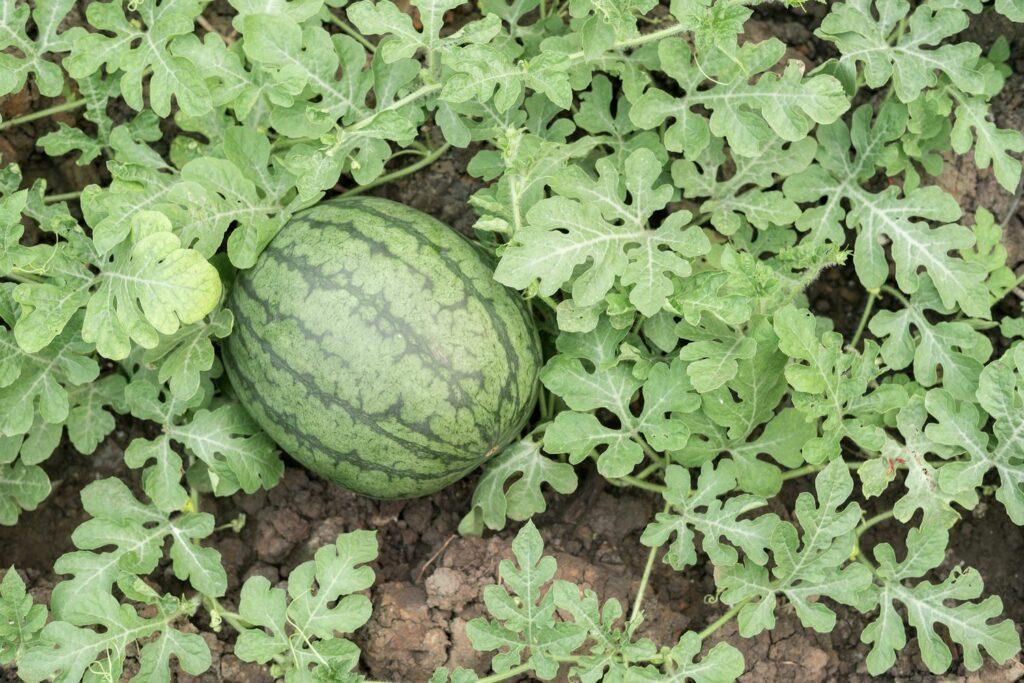 Anbau der Wassermelone