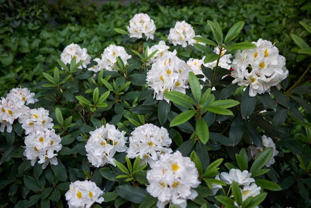 weißer Rhododendron im Garten