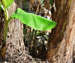 10 Junge Bananenpflanze
