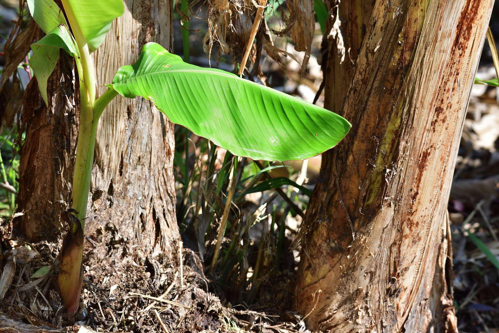 bananenpflanze im eigenen garten pflanzen pflegen plantura. Black Bedroom Furniture Sets. Home Design Ideas