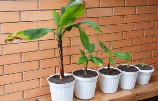 Wachsende Bananenpflanzen In Töpfen