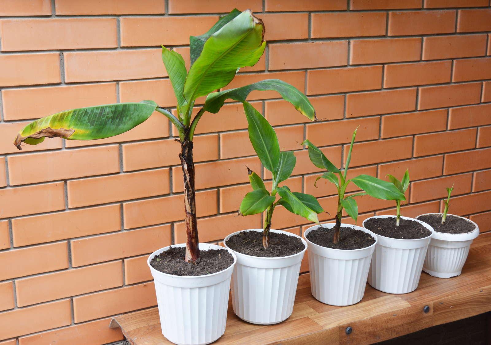 Atemberaubend Bananenpflanze erfolgreich überwintern & umtopfen - Plantura &FW_67