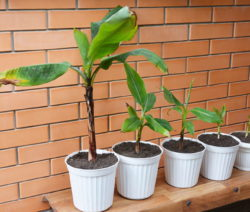 11 Wachsende Bananenpflanzen