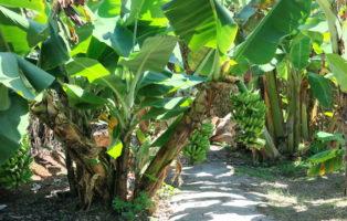 Große Bananenstaude Bananenplantage