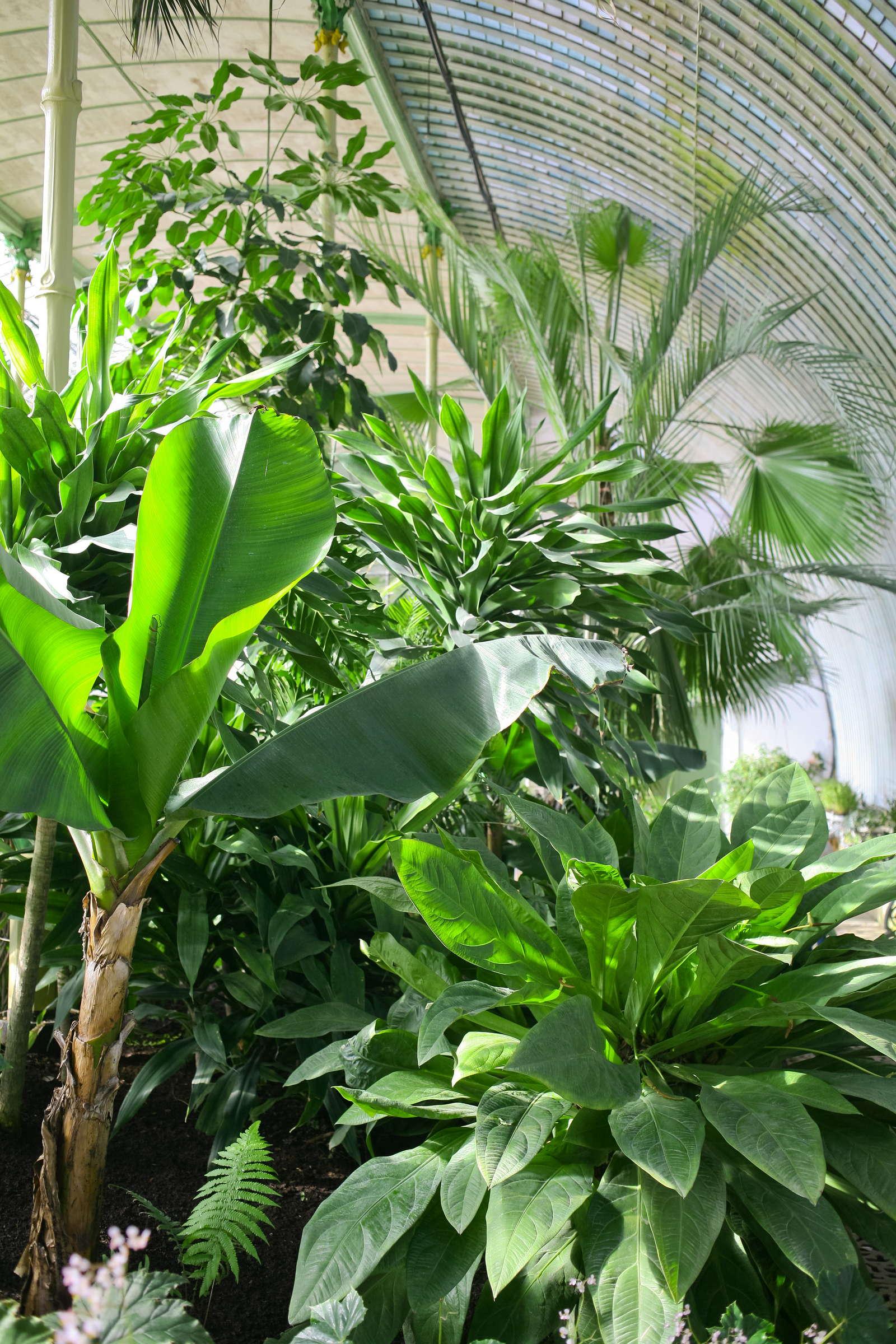 bananenpflanze erfolgreich berwintern plantura. Black Bedroom Furniture Sets. Home Design Ideas