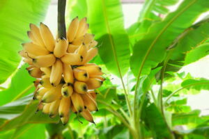 Bananen Bananenpflanze