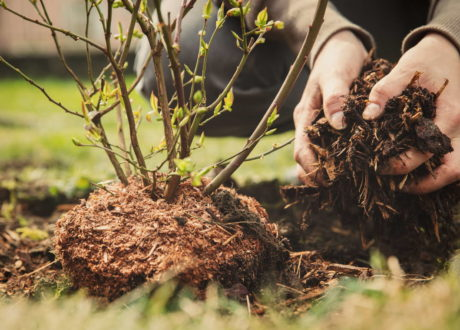 Heidelbeeren/Blaubeeren Pflanzen: Zeitpunkt, Standort & Pflege