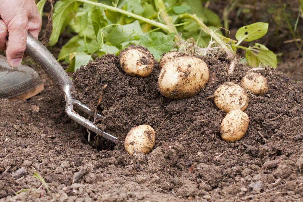 vorsichtiges Ausgraben von Kartoffeln bei der Ernte