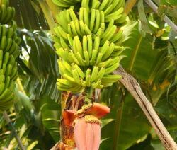 Banane Musa Paradisiaca