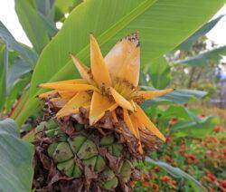 Banane Musella Lasiocarpa