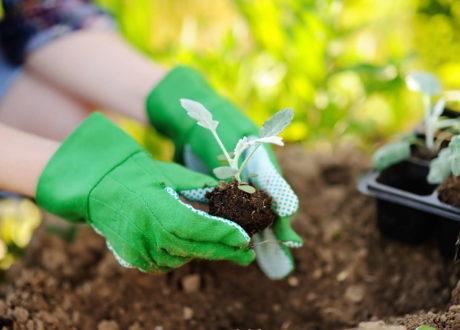 Steckling In Erde Setzen Hände Mit Gartenhandschuhe