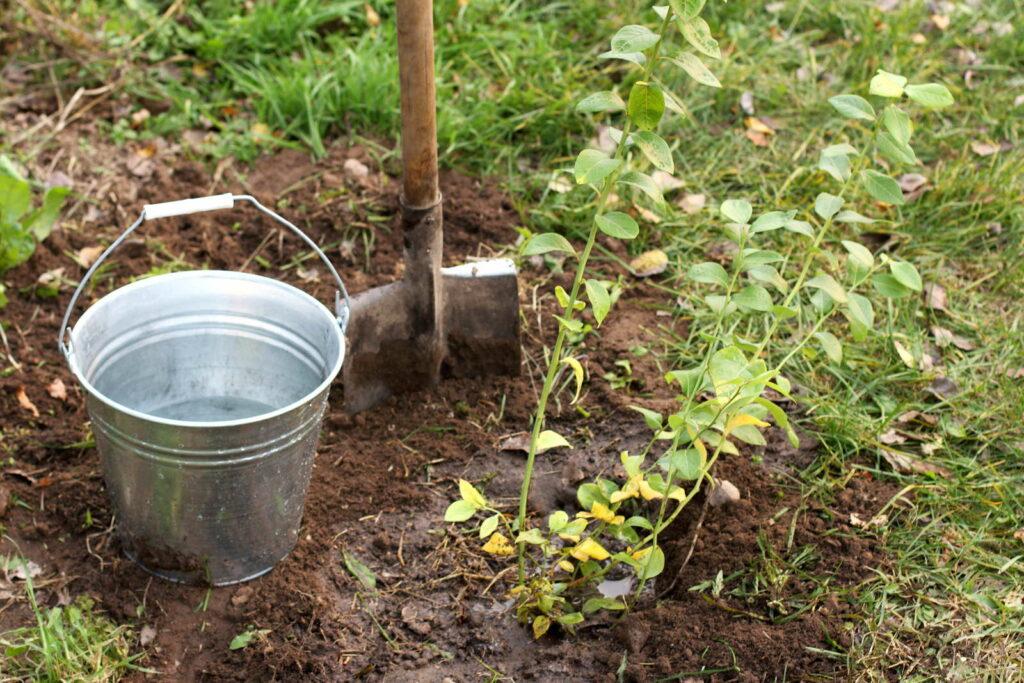 Blaubeere pflanzen Eimer Spaten im Garten