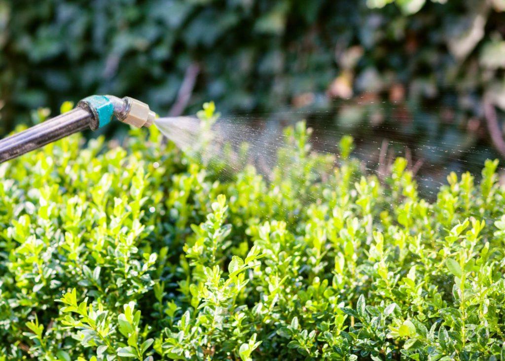 Buchsbaum wird mit Gartenschlauch gegossen