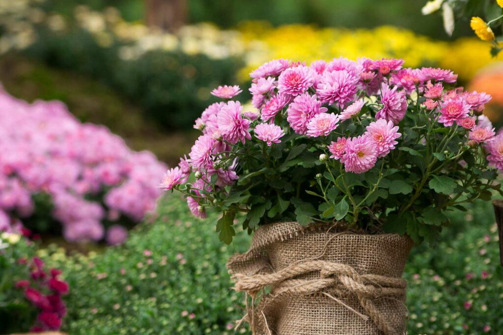 Chrysanthemen: Experten-Wissen & Pflege-Tipps