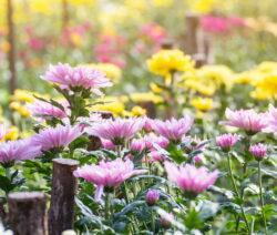 Chrysanthemen 1