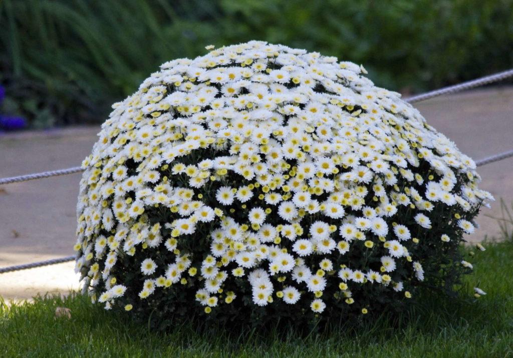 Chrysanthemen Busch weiß