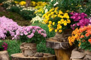Chrysanthemen Garten Im Topf