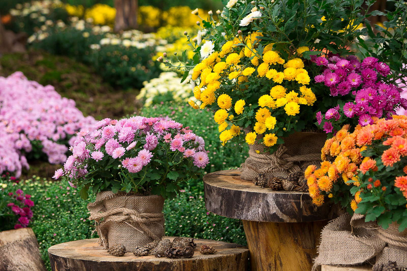 chrysanthemen arten chrysanthemum indicum andere sorten bersicht plantura. Black Bedroom Furniture Sets. Home Design Ideas