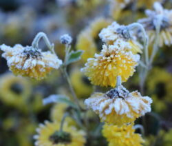 Chrysanthemen Gelb Frost