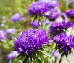 Chrysanthemen Lila