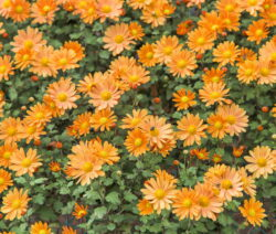 Chrysanthemen Orange