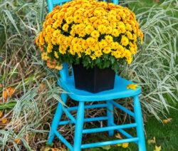 Chrysanthemen Orange Im Topf Auf Stuhl