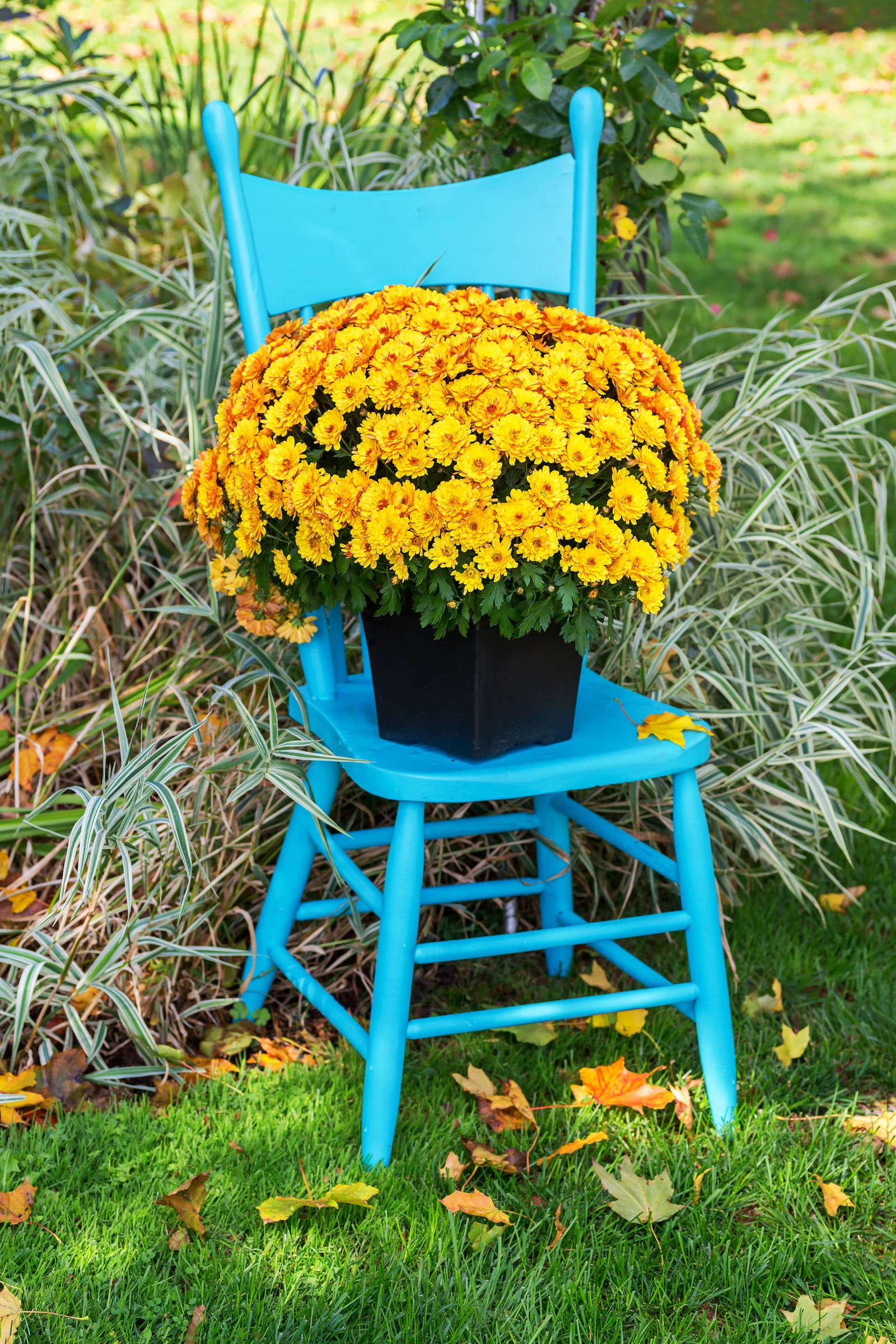 chrysanthemen experten wissen pflege tipps plantura. Black Bedroom Furniture Sets. Home Design Ideas