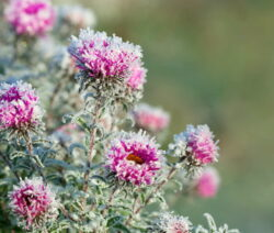 Chrysanthemen Pink Frost