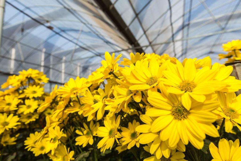 Chrysanthmen gelb Gewächshaus