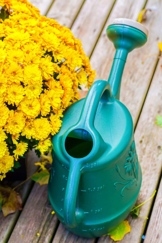 Chrysanthmen gelb türkise Gießkanne