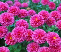 Chrysanthmen Pink