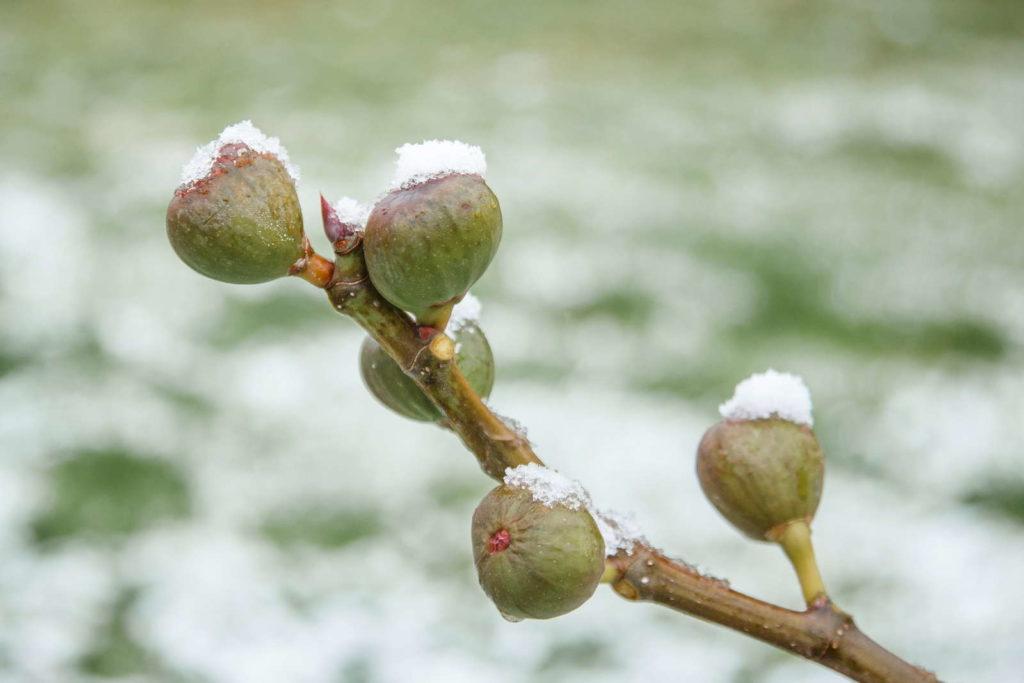 Feigen am Baum mit Schnee und Eis