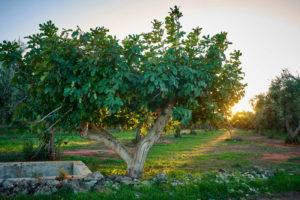 Feigenbaum Sonnenuntergang Italien