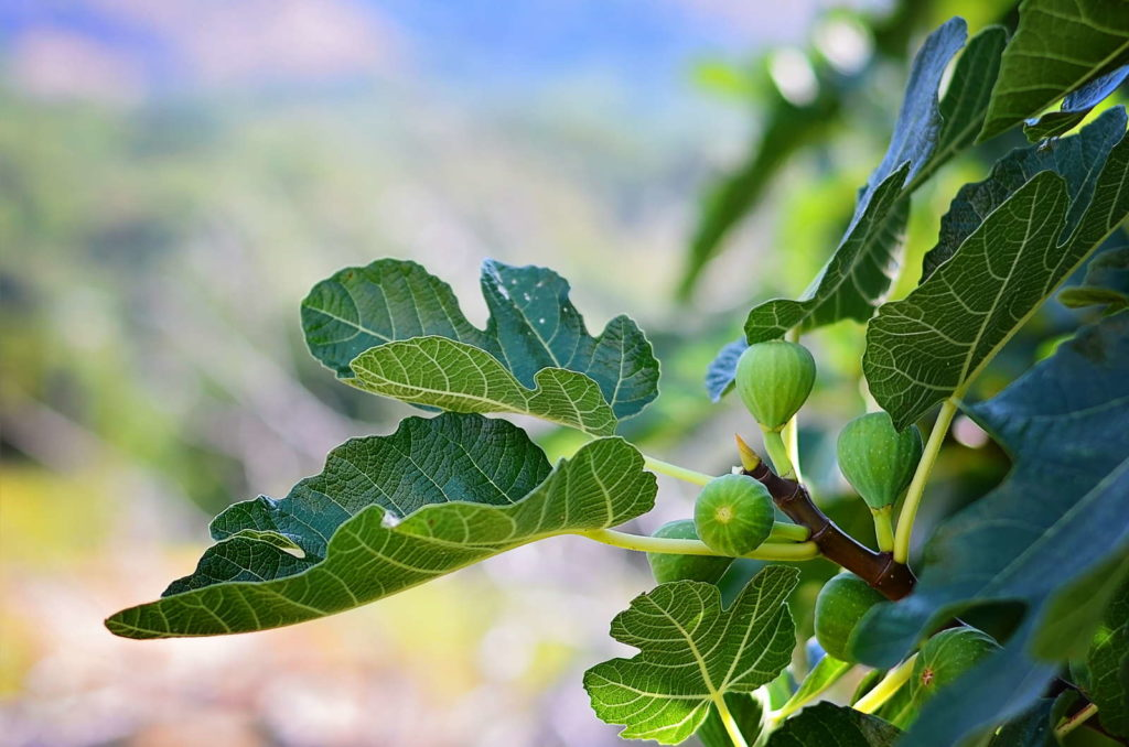 Feigenbaumblätter und Feigen am Ast