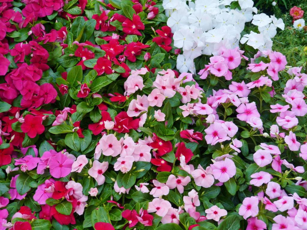 Fleißiges Lieschen rote rosa Blüten