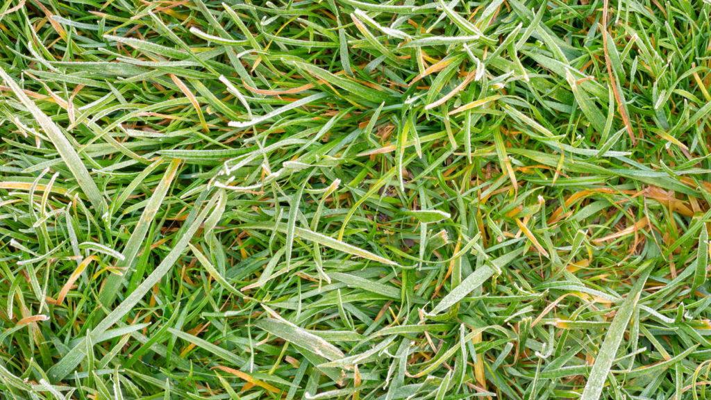 Rasen mit Frostschäden