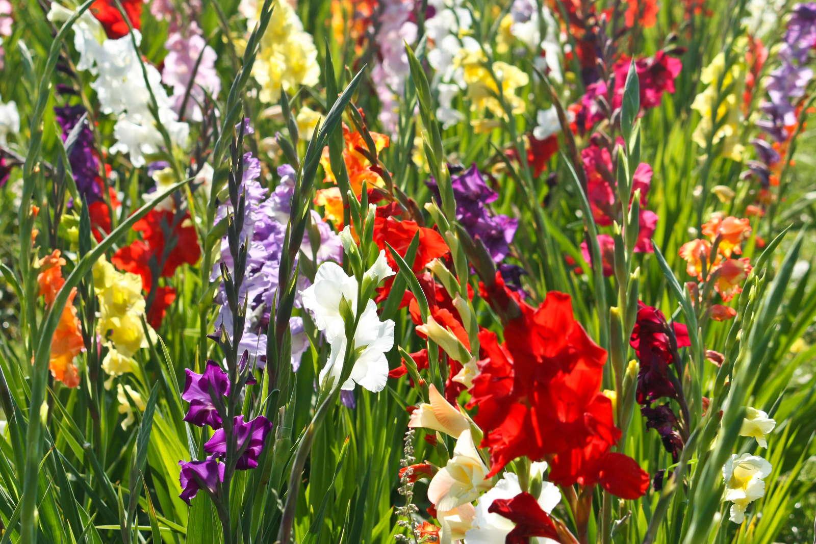 gladiolen hilfreiche tipps zum einpflanzen schneiden pflegen plantura. Black Bedroom Furniture Sets. Home Design Ideas