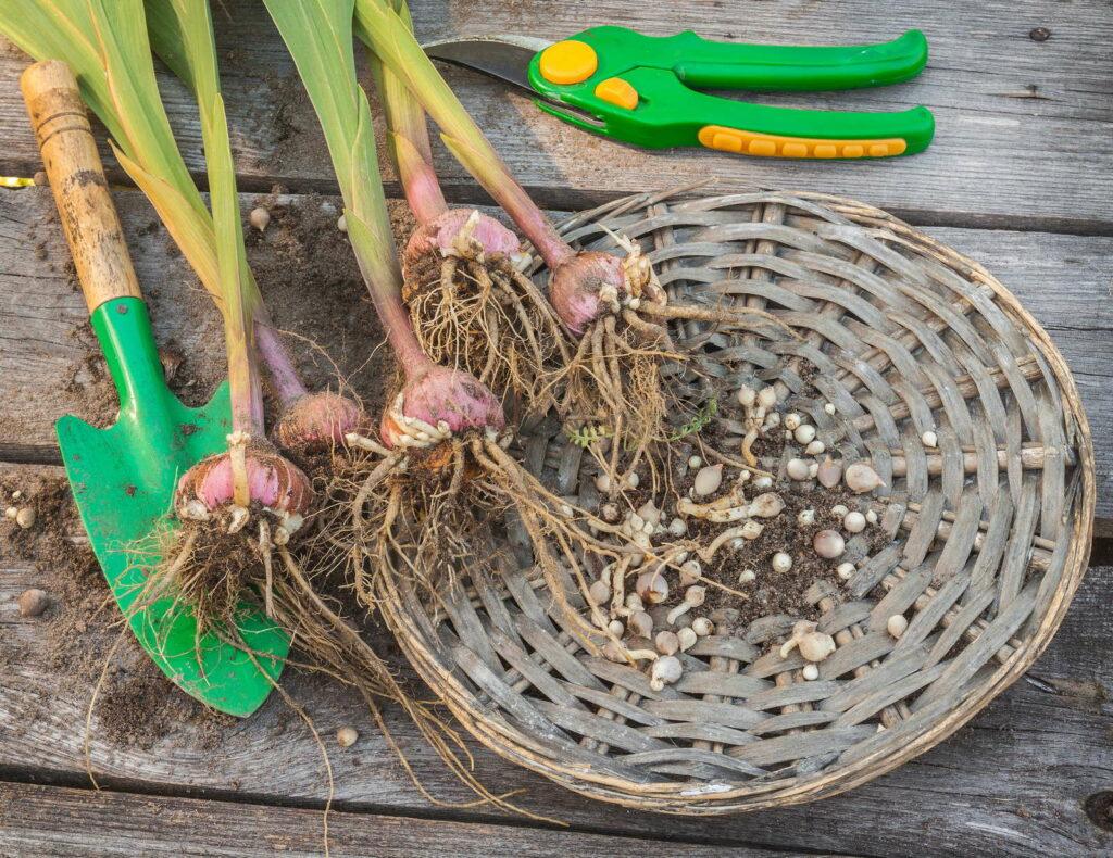 Gladiolen ausgegrabene Zwiebeln in Korb Gartenschaufel Gartenschere
