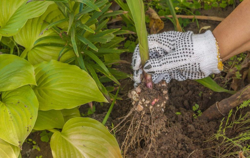 Gladiolen ausgraben Hand mit Handschuh