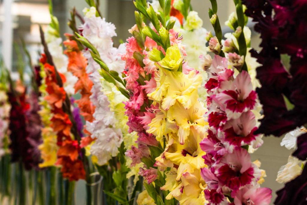 Gladiolen in Vase 2