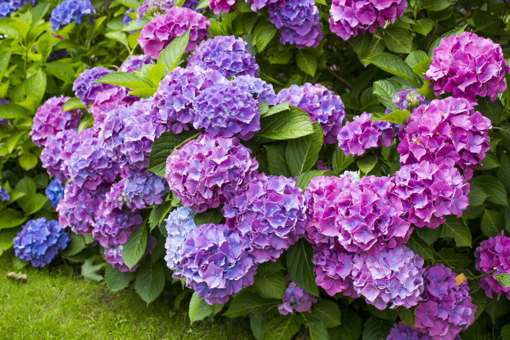 Hortensie Blau pink Busch