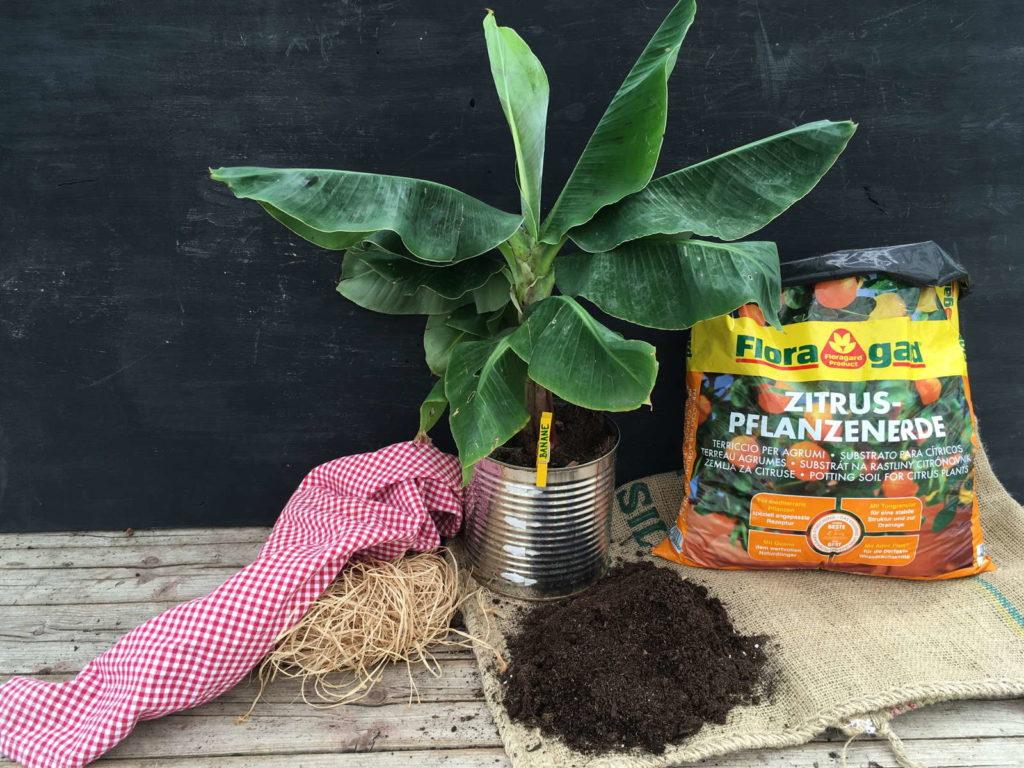 Bananenpflanze im Topf mit Erdsack
