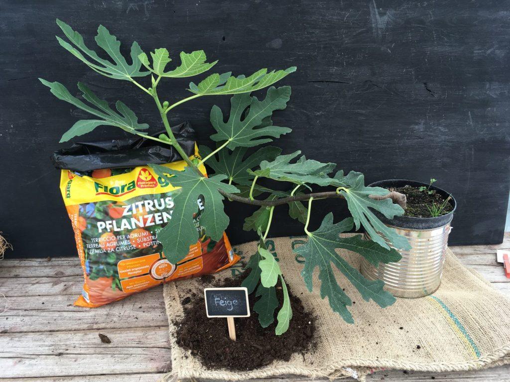 feigenbaum im garten experten tipps vom kauf bis zur pflege plantura. Black Bedroom Furniture Sets. Home Design Ideas