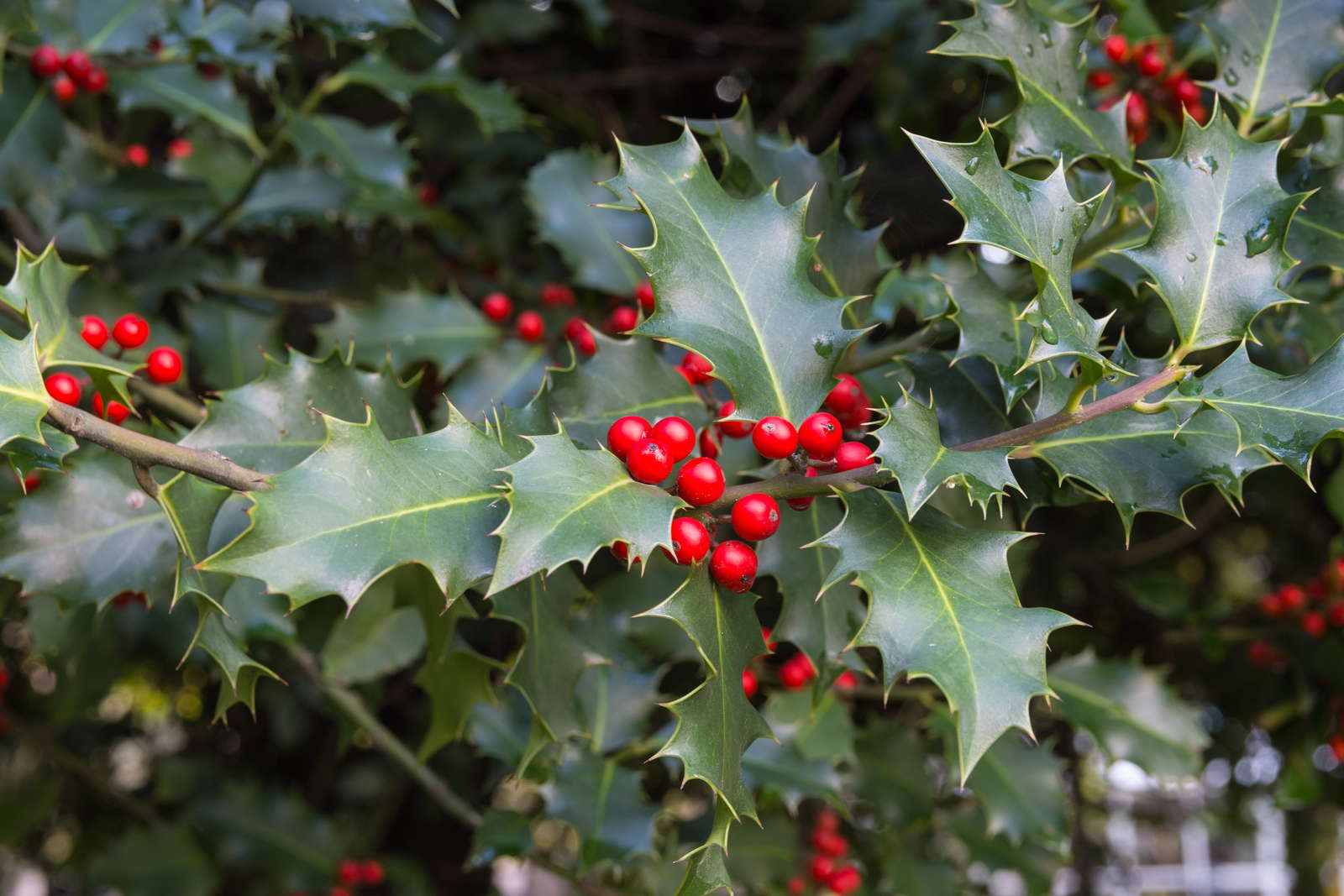 Die Rotleuchtende Beeren Stellen Eine Schöne Abwechslung Im Winterkahlen  Garten Dar [Foto: Valentino Cazzanti/ Shutterstock.com]