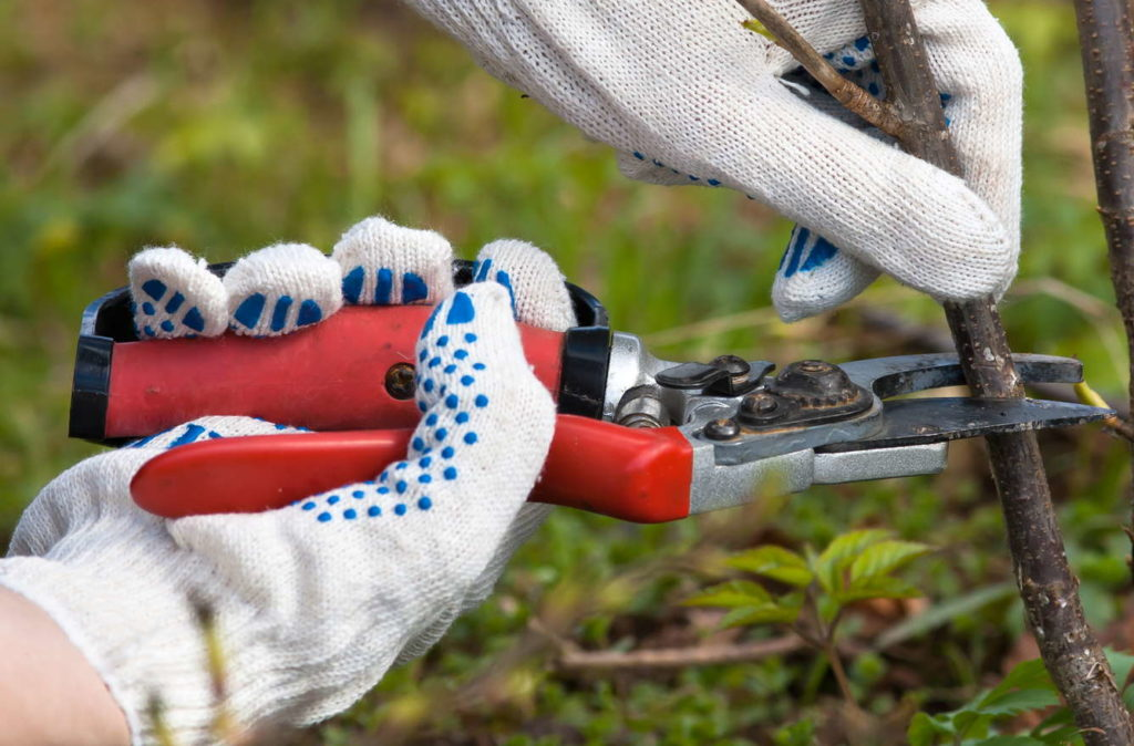Johannisbeere schneiden Ast scheniden mit Gartenschere
