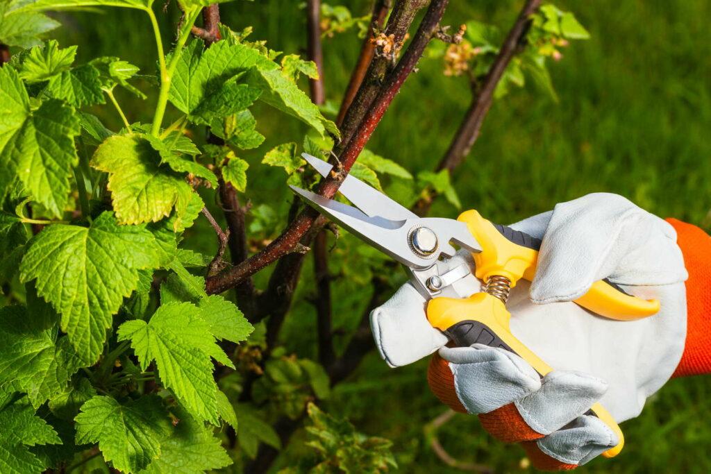 Johannisbeere schneiden mit Schere Gartenhandschuhe