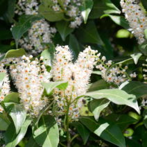 Kirschlorbeer Genolia Blüte Weiß